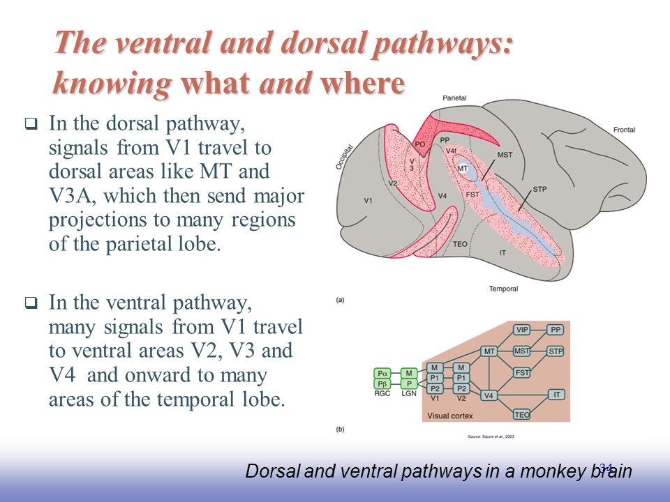 The ventral and dorsal pathways: knowing what and where