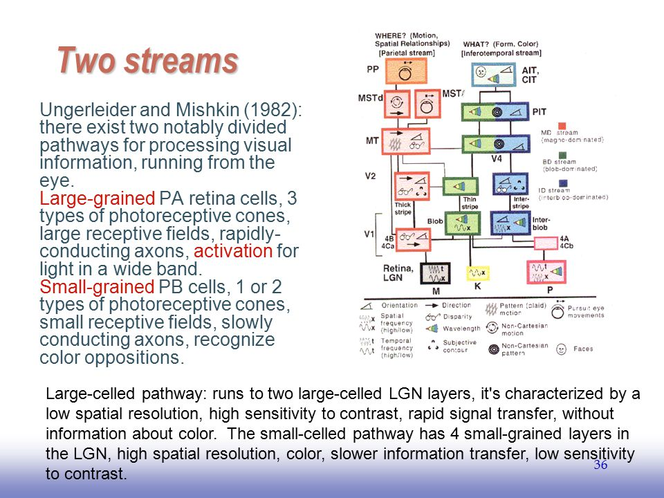 Two streams Ungerleider and Mishkin (1982): there exist two notably divided pathways for processing visual information, running from the eye.