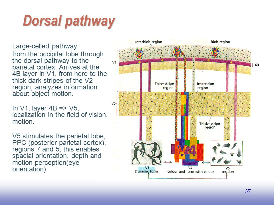 Dorsal pathway Large-celled pathway: