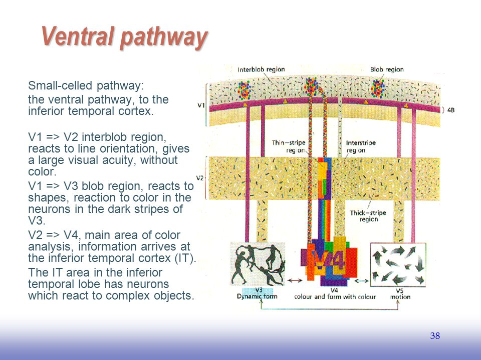 Ventral pathway Small-celled pathway: