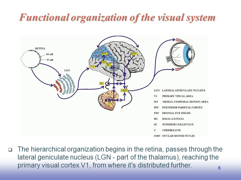 Functional organization of the visual system