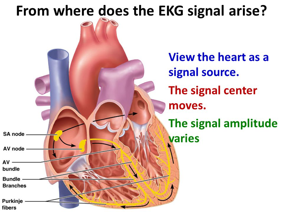 From where does the EKG signal arise