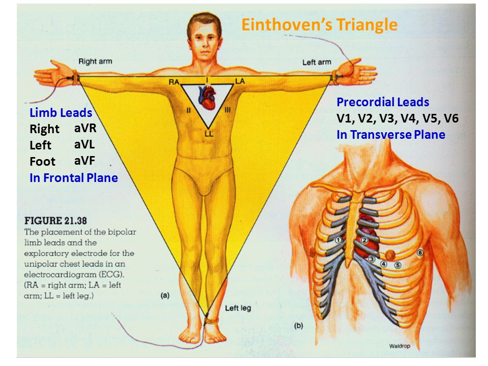Einthoven's Triangle Precordial Leads V1, V2, V3, V4, V5, V6
