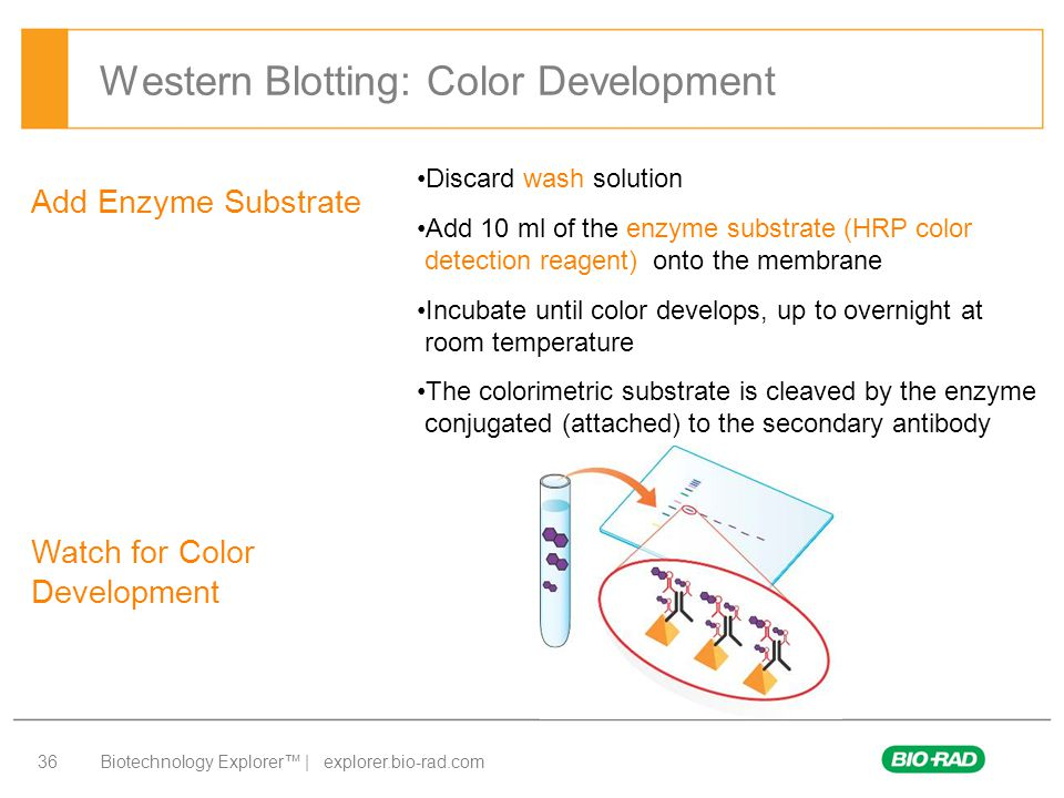 Western Blotting: Color Development