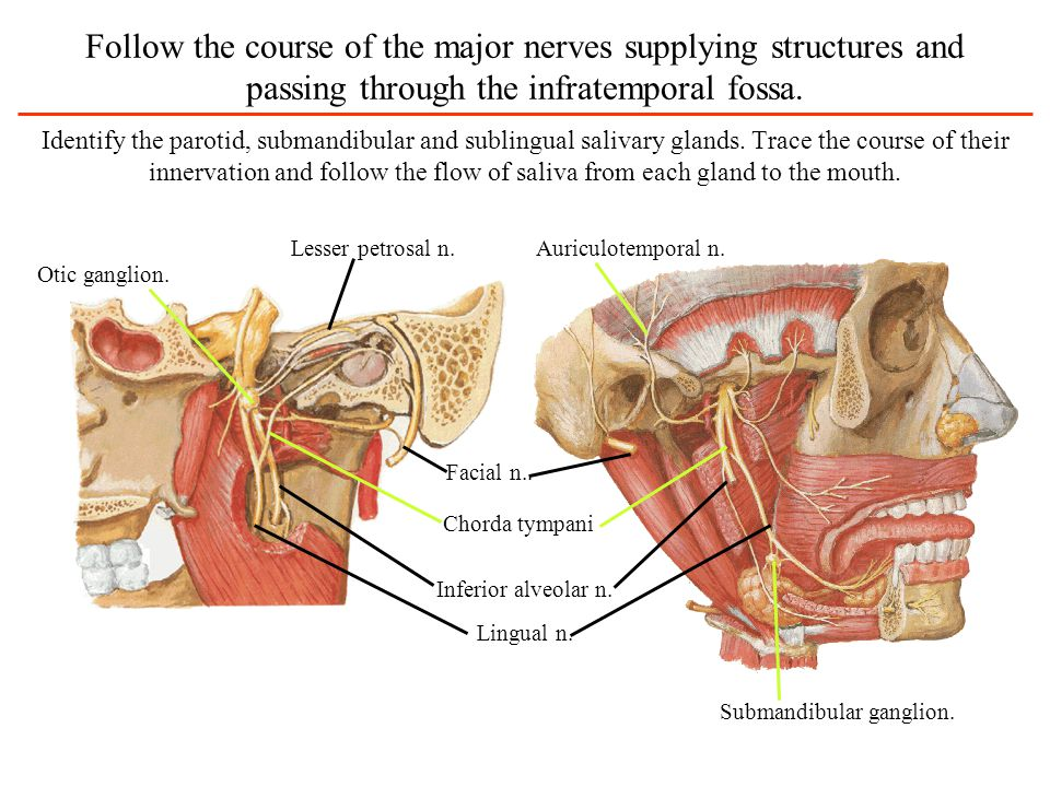 Follow the course of the major nerves supplying structures and passing through the infratemporal fossa.