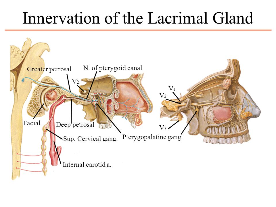 Innervation of the Lacrimal Gland