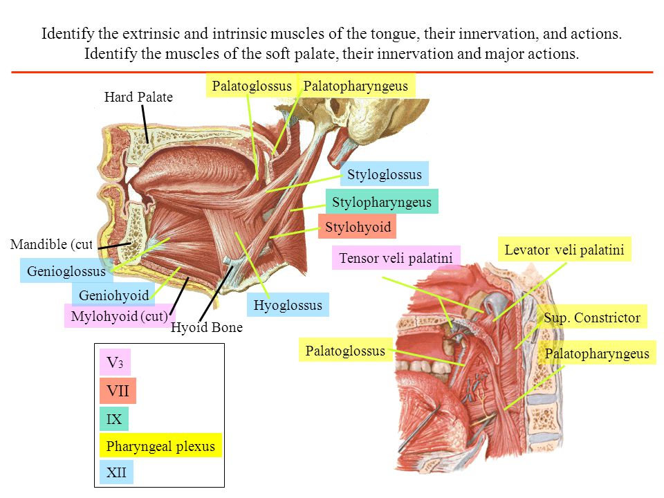 Identify the extrinsic and intrinsic muscles of the tongue, their innervation, and actions. Identify the muscles of the soft palate, their innervation and major actions.