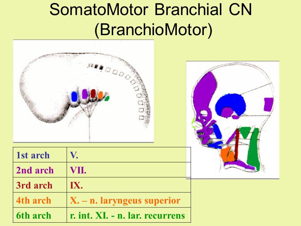 SomatoMotor Branchial CN (BranchioMotor)