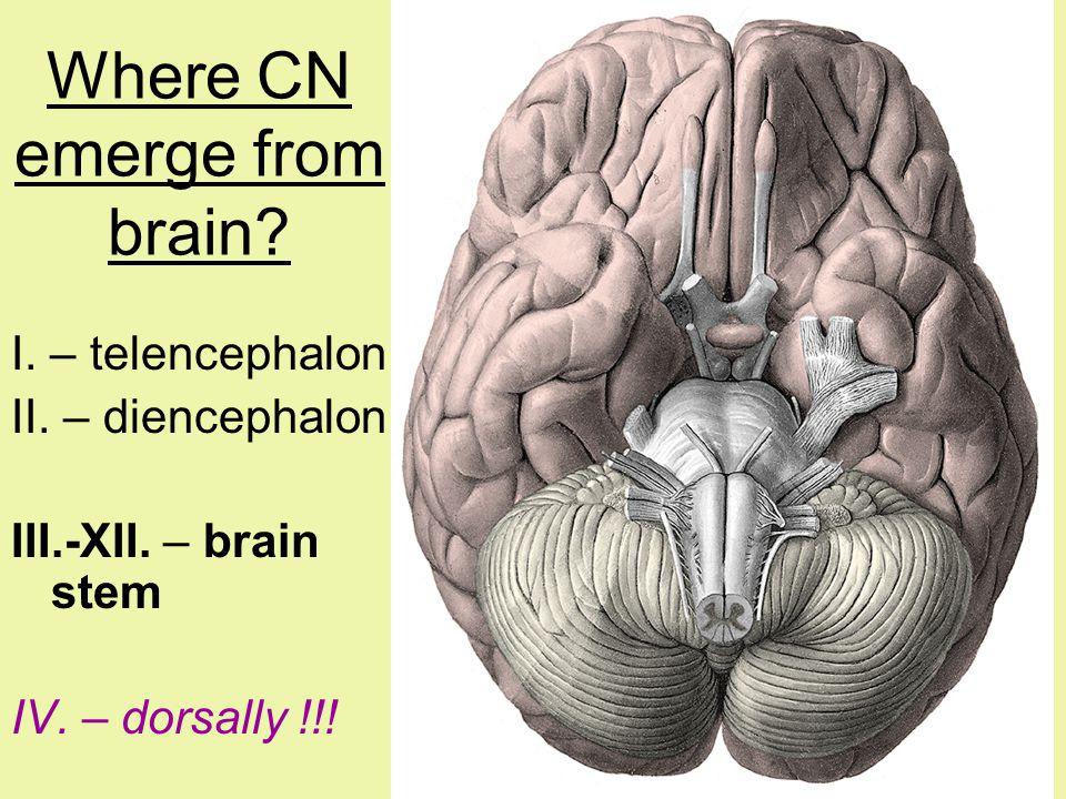 Where CN emerge from brain