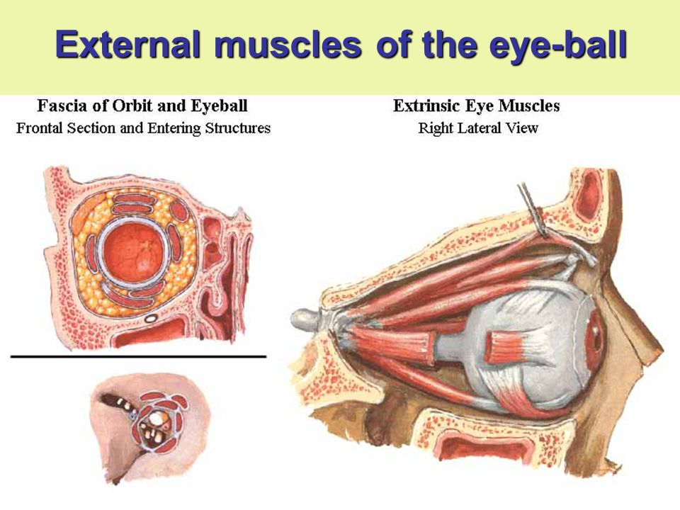 External muscles of the eye-ball