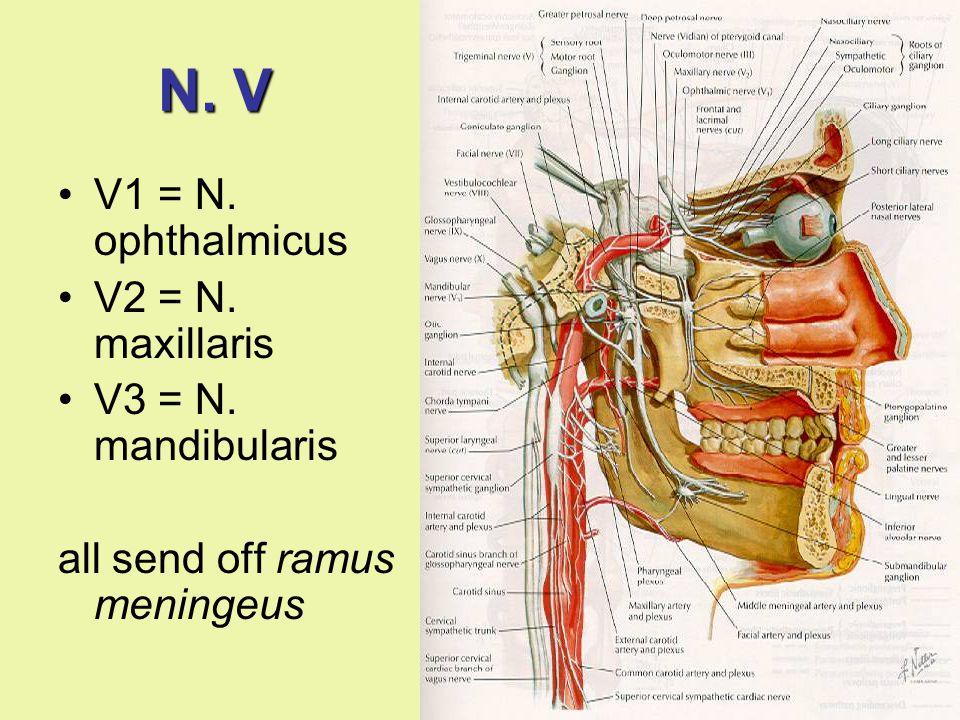 N. V V1 = N. ophthalmicus V2 = N. maxillaris V3 = N. mandibularis