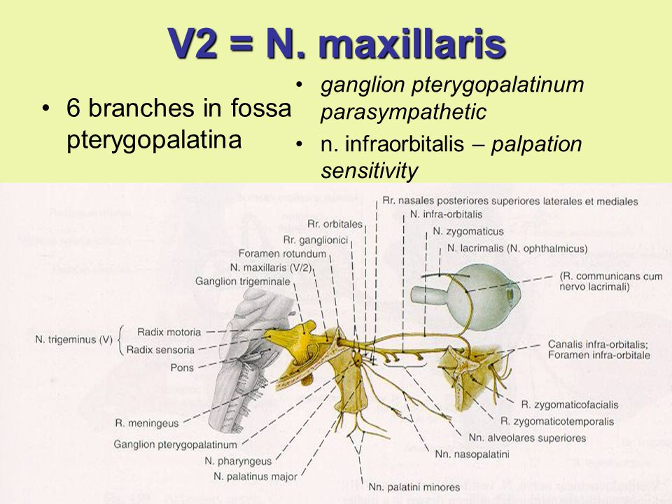 V2 = N. maxillaris 6 branches in fossa pterygopalatina