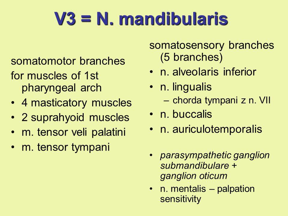 V3 = N. mandibularis somatosensory branches (5 branches)