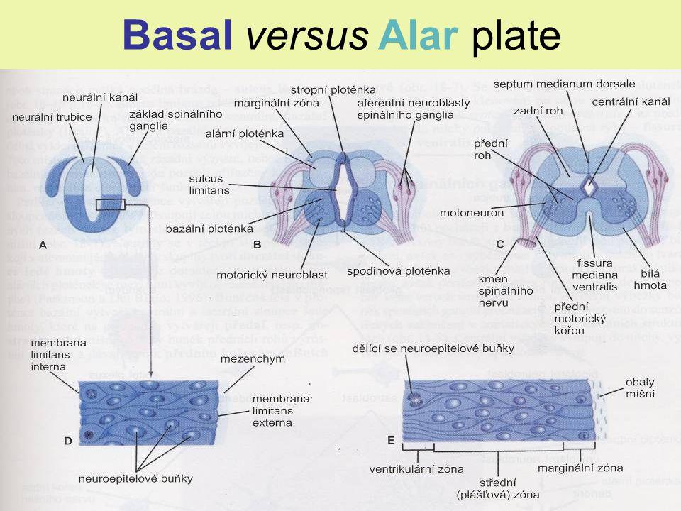 Basal versus Alar plate