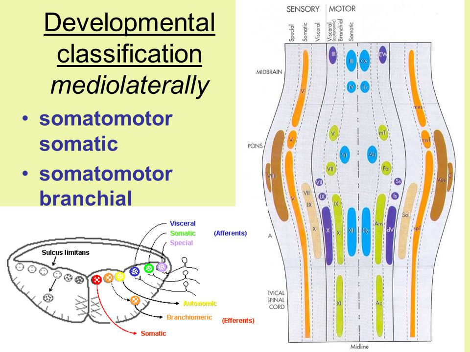 Developmental classification mediolaterally