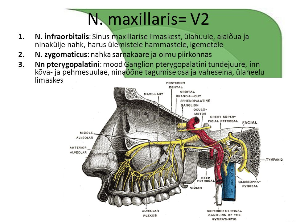 N. maxillaris= V2 N. infraorbitalis: Sinus maxillarise limaskest, ülahuule, alalõua ja ninakülje nahk, harus ülemistele hammastele, igemetele.