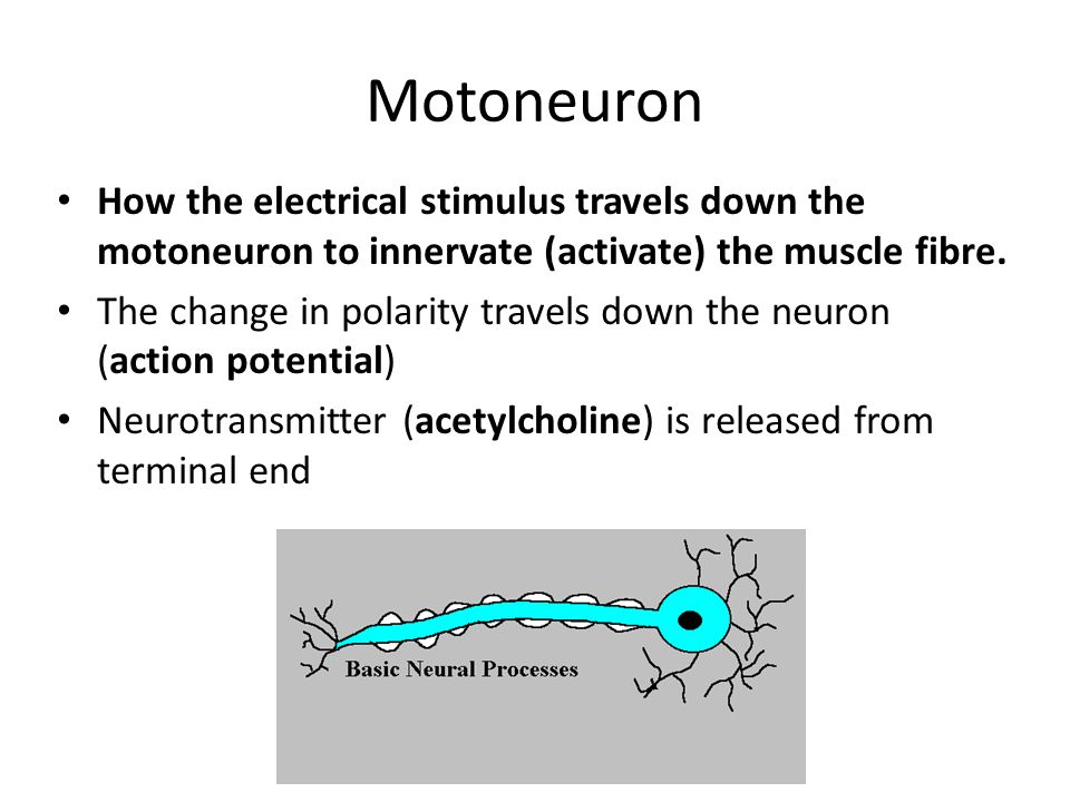 Motoneuron How the electrical stimulus travels down the motoneuron to innervate (activate) the muscle fibre.