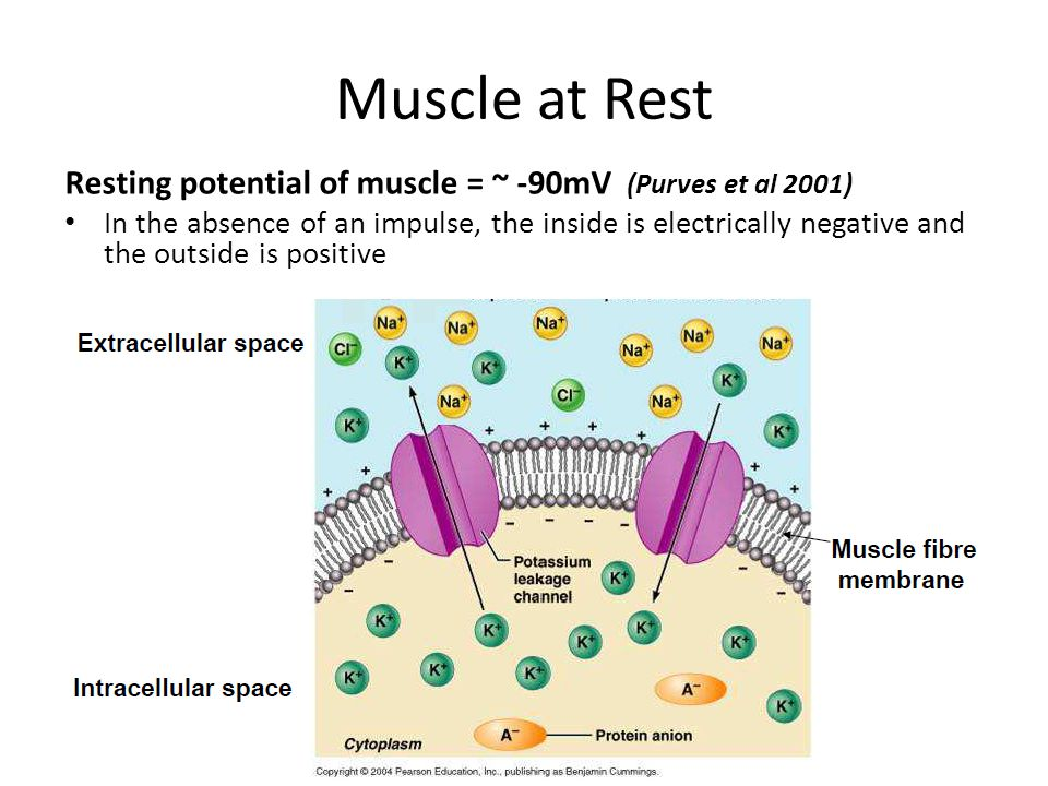 Muscle at Rest Resting potential of muscle = ~ -90mV (Purves et al 2001)
