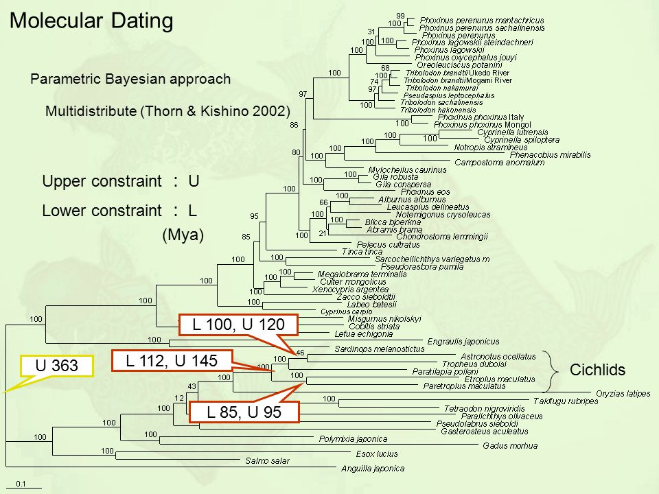 Molecular Dating Upper constraint : U Lower constraint : L (Mya)