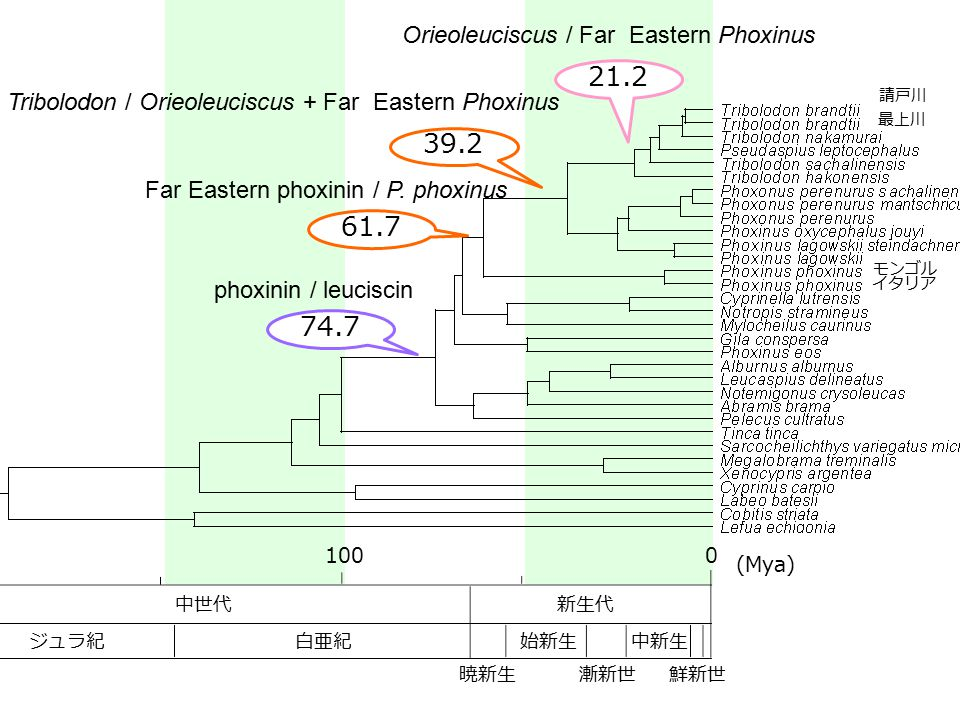 21.2 39.2 61.7 74.7 Orieoleuciscus / Far Eastern Phoxinus