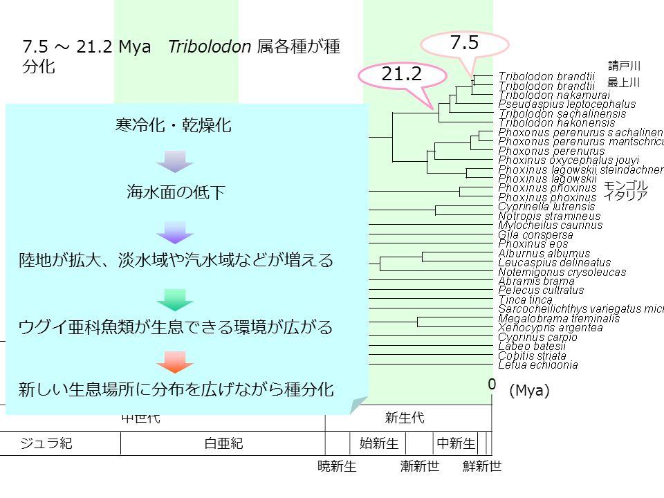 7.5 21.2 7.5 ~ 21.2 Mya Tribolodon 属各種が種分化 寒冷化・乾燥化 海水面の低下
