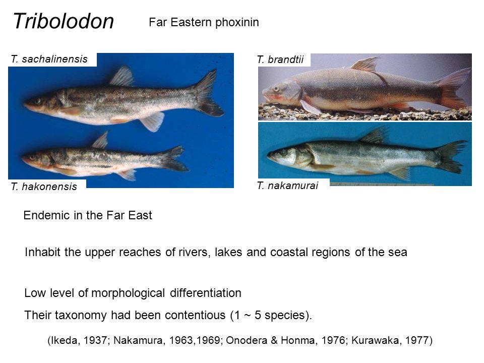 Tribolodon Far Eastern phoxinin Endemic in the Far East