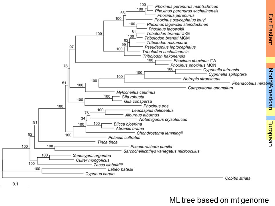 ML tree based on mt genome