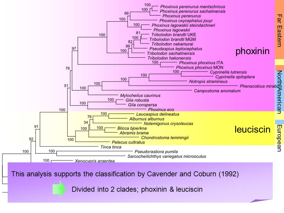 Far Eastern phoxinin. North American. leuciscin. European. This analysis supports the classification by Cavender and Coburn (1992)