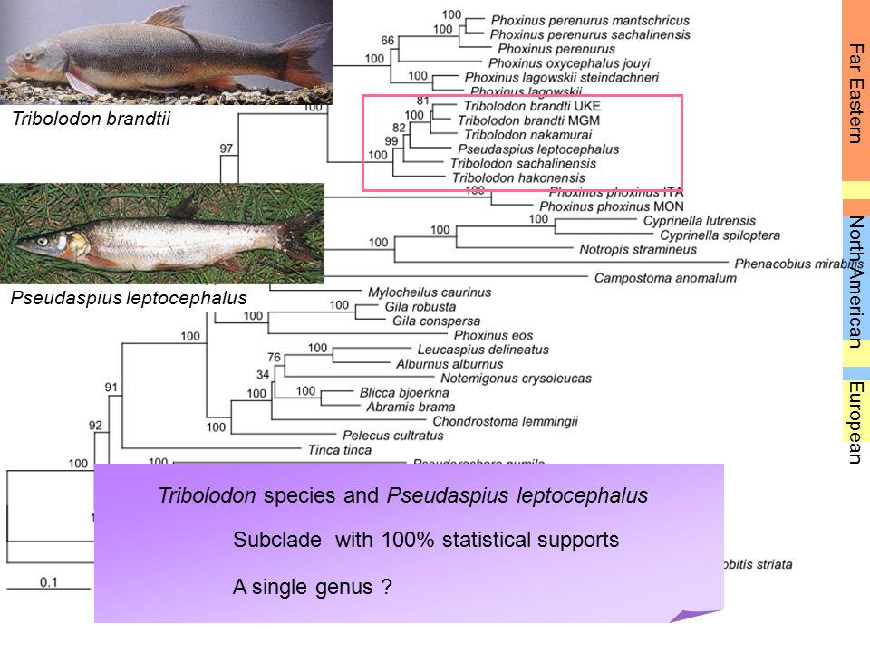 Tribolodon species and Pseudaspius leptocephalus