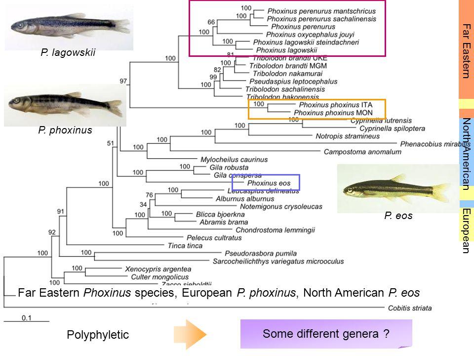 P. lagowskii Far Eastern. P. phoxinus. North American. P. eos. European.