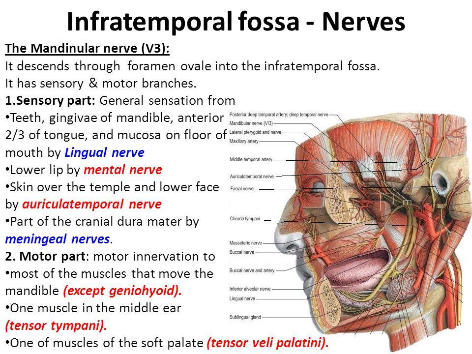Infratemporal fossa - Nerves