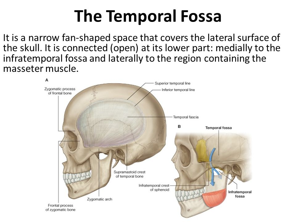 The Temporal Fossa