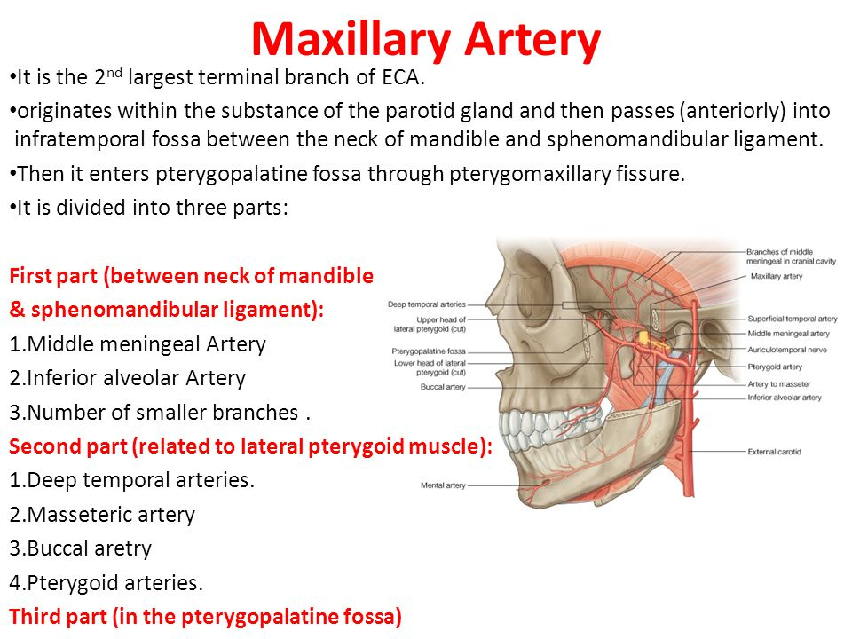 Maxillary Artery It is the 2nd largest terminal branch of ECA.