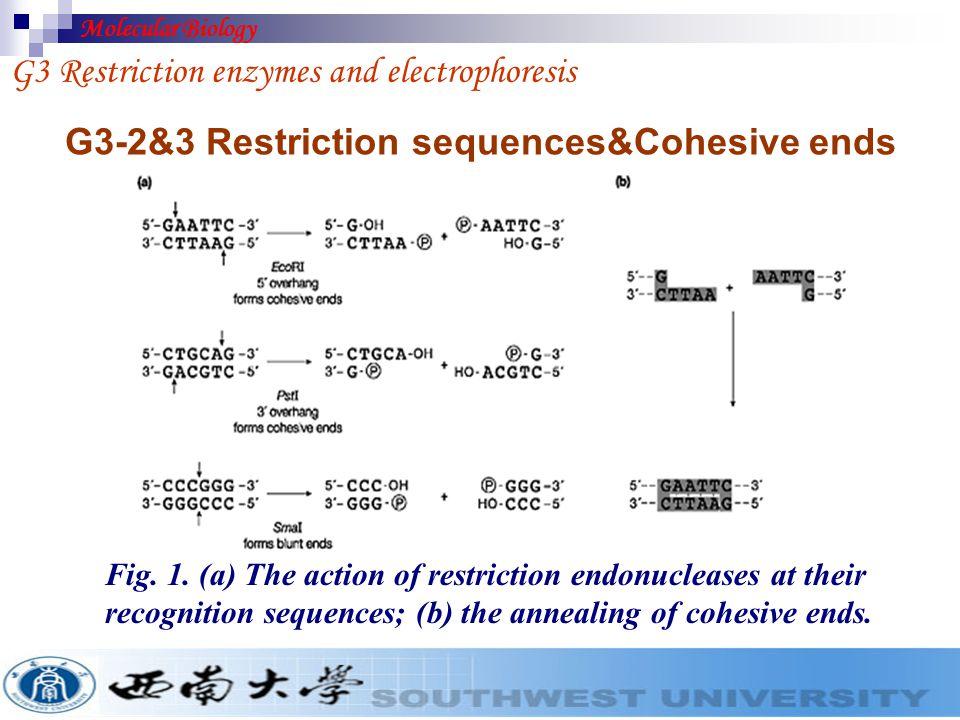 G3-2&3 Restriction sequences&Cohesive ends