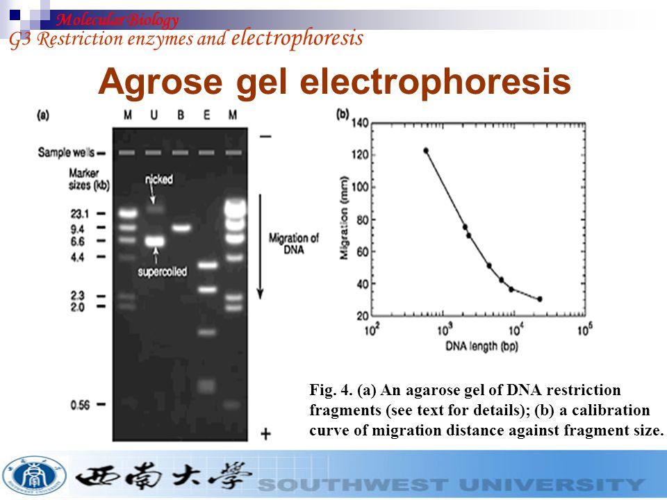 Agrose gel electrophoresis