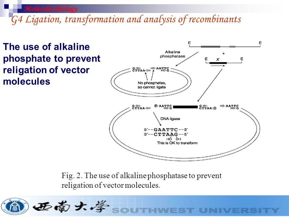 G4 Ligation, transformation and analysis of recombinants