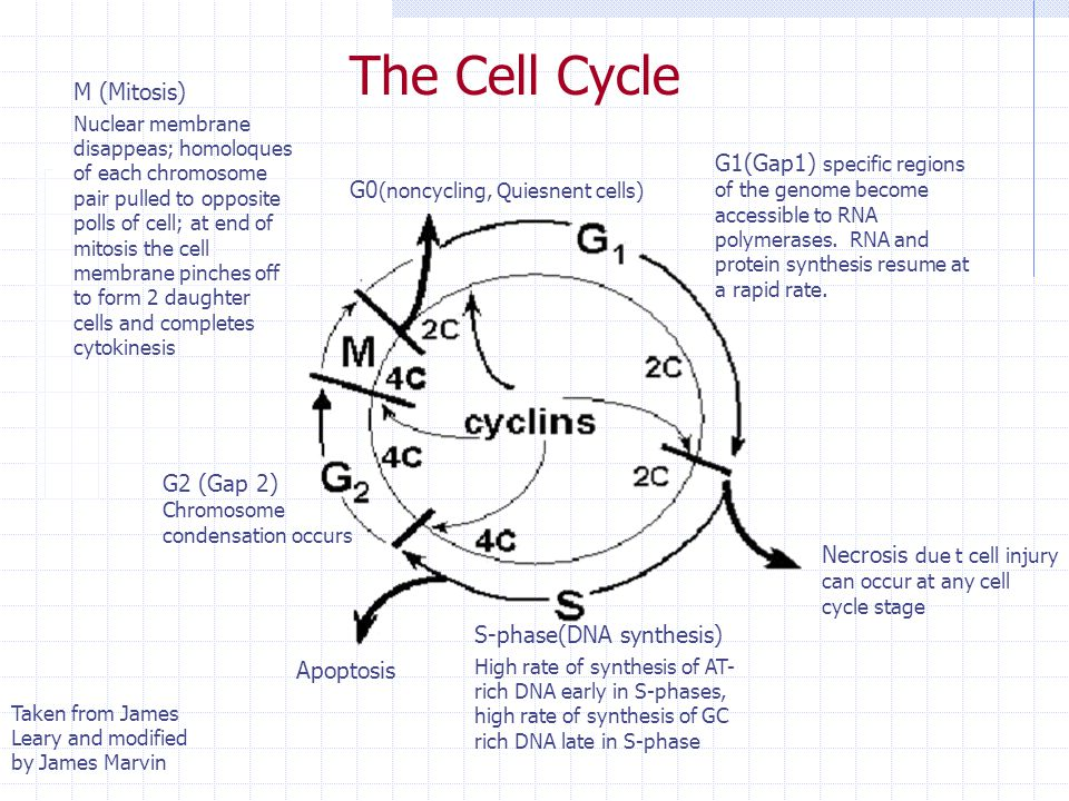 The Cell Cycle M (Mitosis)