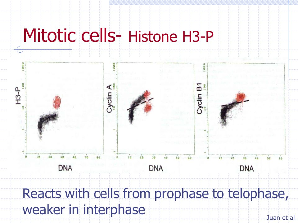 Mitotic cells- Histone H3-P