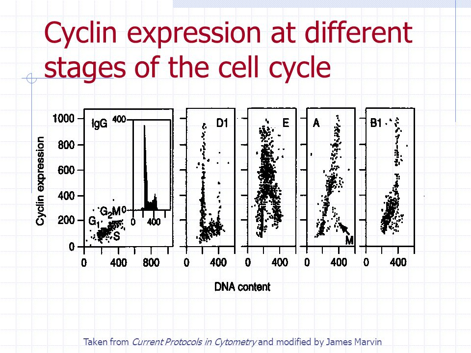 Cyclin expression at different stages of the cell cycle