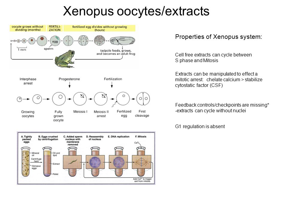Xenopus oocytes/extracts