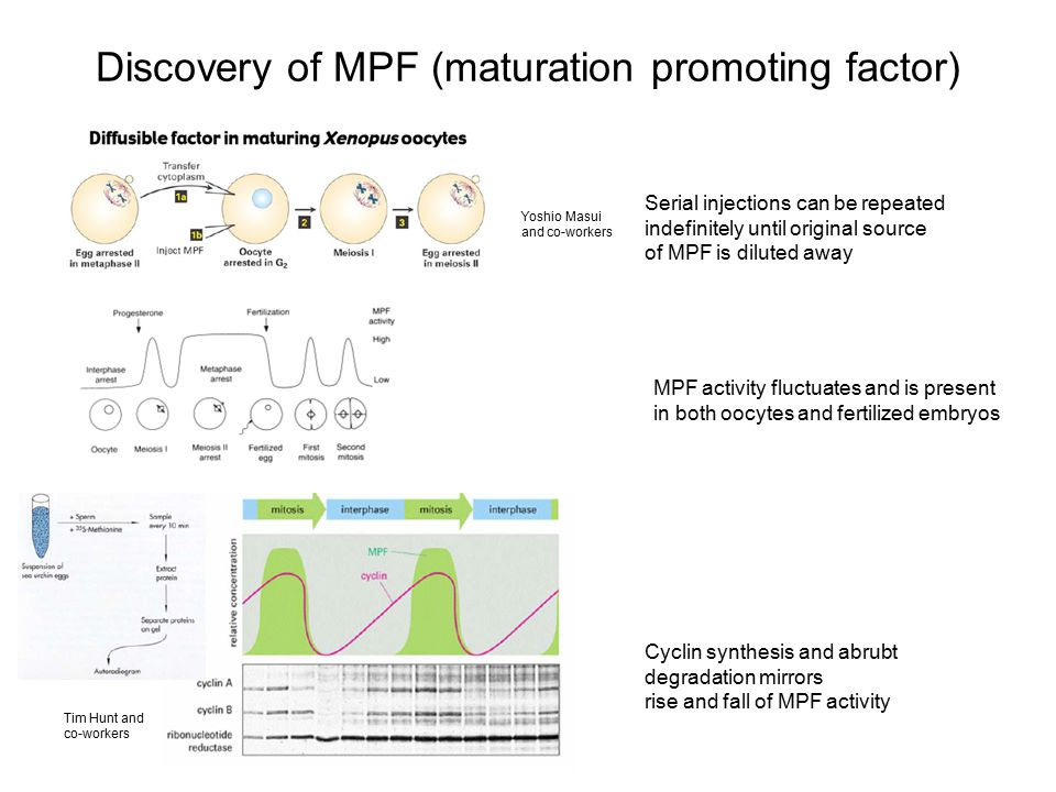 Discovery of MPF (maturation promoting factor)