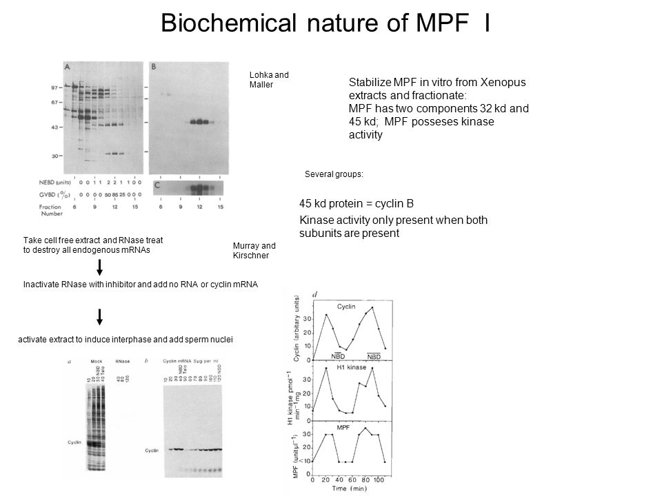Biochemical nature of MPF I