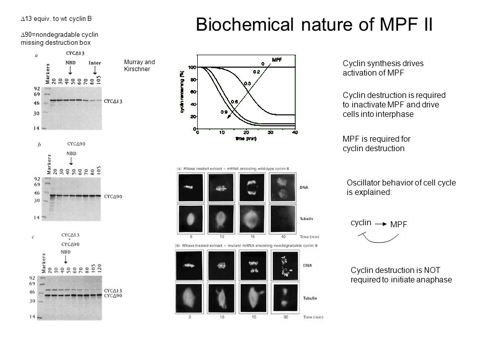 Biochemical nature of MPF II