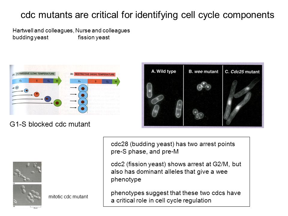 cdc mutants are critical for identifying cell cycle components
