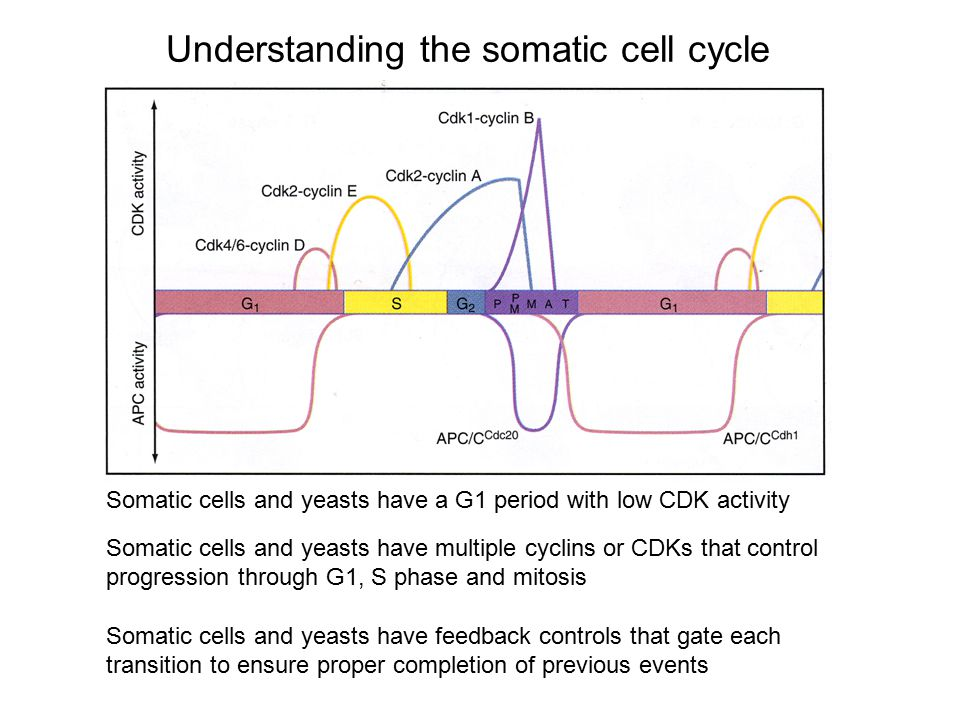 Understanding the somatic cell cycle