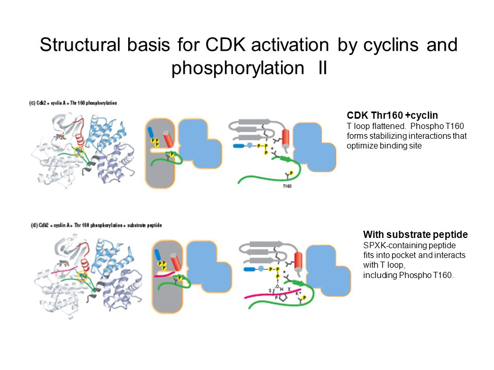 Structural basis for CDK activation by cyclins and phosphorylation II