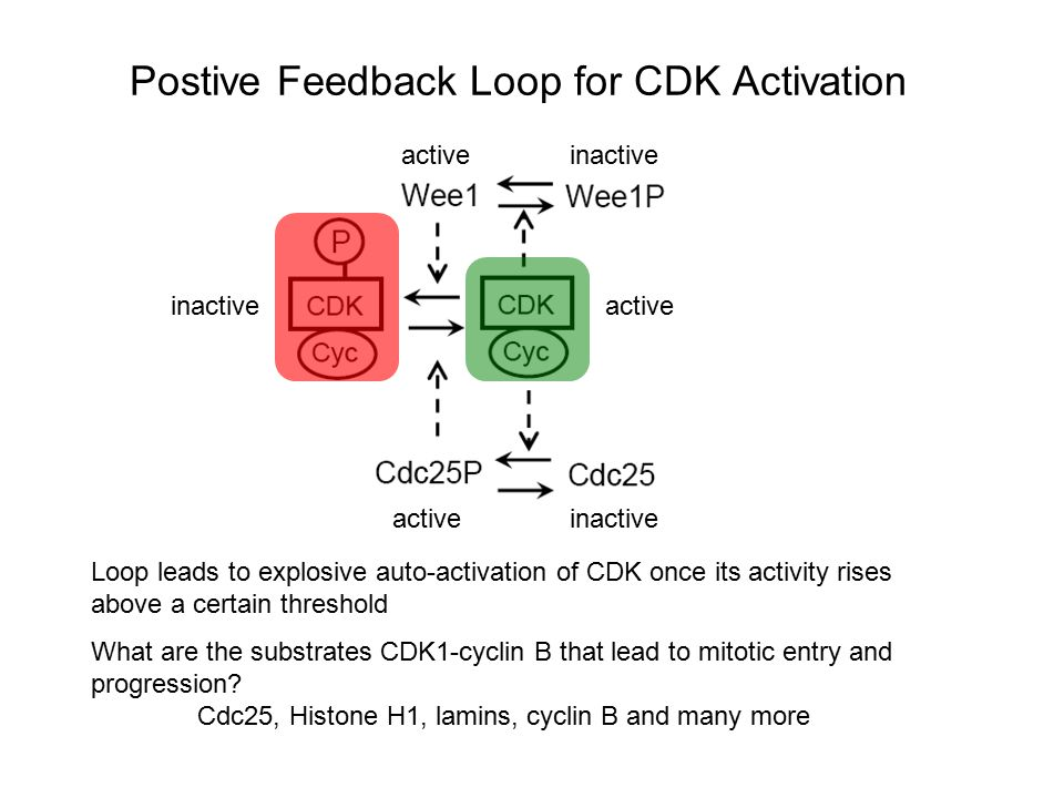 Postive Feedback Loop for CDK Activation