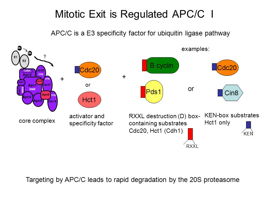 Mitotic Exit is Regulated APC/C I