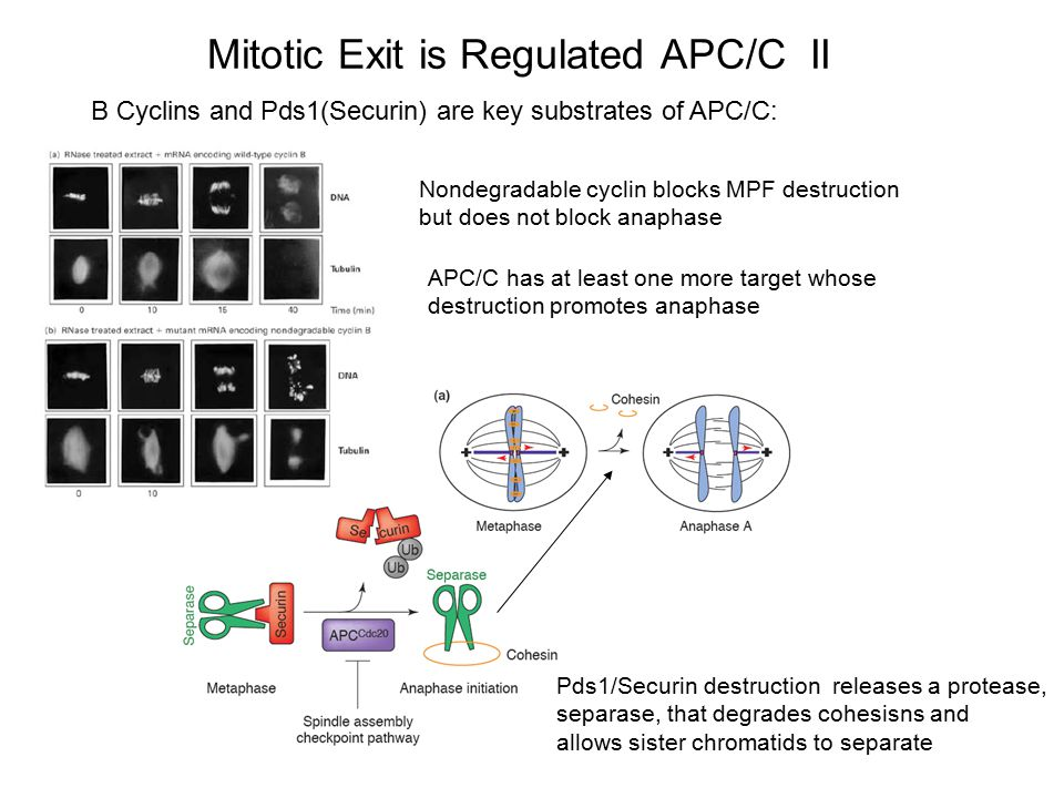Mitotic Exit is Regulated APC/C II