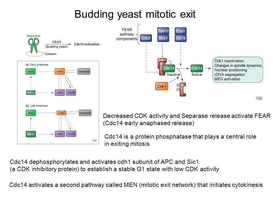 Budding yeast mitotic exit